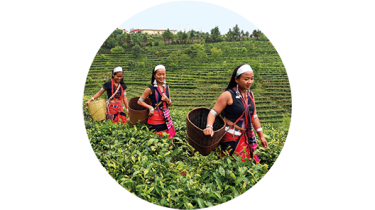 943-tea-pickers-300