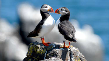Puffins on Lundy Island
