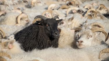 Black sheep among white sheep