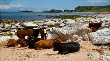 Cows at White Park Bay © Alamy Stock Photo
