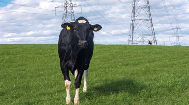Cow in a field with electricity pylons behind