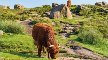 Cows on Higger Tor in the Peak District