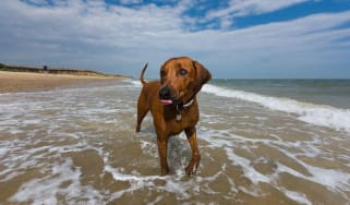 Doggy day at the beach - Covehithe