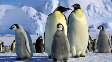Emperor Penguins with chicks, Antarctica © Alamy Stock Photo