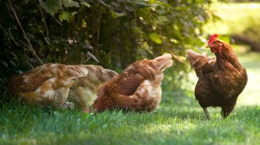 Chickens © Getty Images