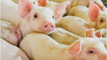 Pigs © Getty Images/iStockphoto