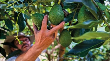 Colombian farm worker picks avocado fruits © Jan Sochor/Getty Images